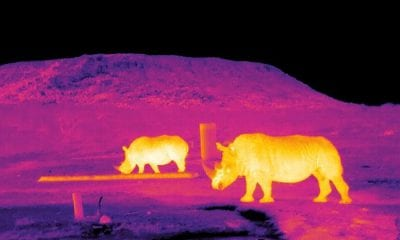 Infrared image of rhinos in South Africa
